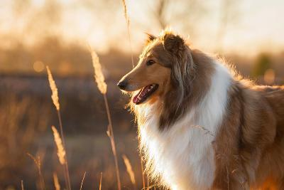 Portrait of Rough Collie at Sunset