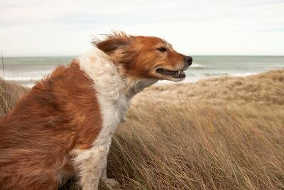 Red Dog on a Windy Hillside