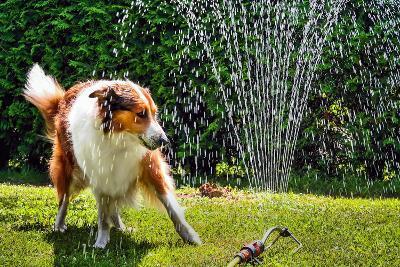 The Collie is Avoiding the Sprinkler in the Garden