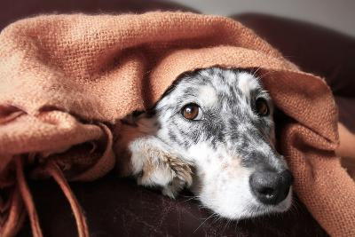 Border Collie / Australian Shepherd Dog under Blanket on Couch Looking Hopeful Lonely Sick Tired Bo