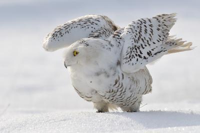 Snowy Owl Flap Wings