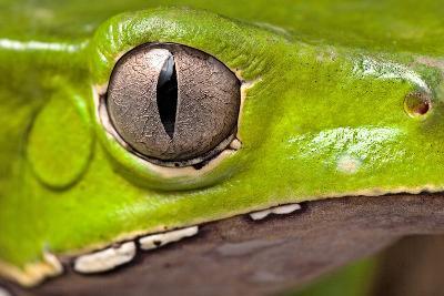 Frog Eye Amphibian Vertical Pupil Beautiful Animal Detail of Iris Phyllomedusa Bicolor