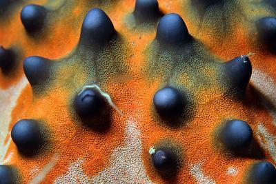 Close-Up of a Knobbly Sea Star/Horned Sea Star (Protoreaster Nodosus), Bunaken, Indonesia