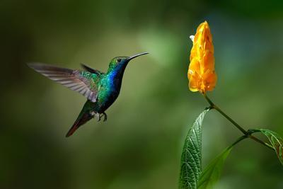 Green and Blue Hummingbird Black-Throated Mango, Anthracothorax Nigricollis, Flying next to Beautif