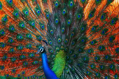 Peacock Showing Feathers on the Bright Red Background