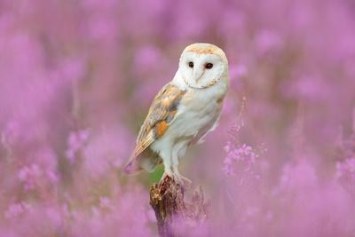 Beautiful Nature Scene with Owl and Pink Flowers. Barn Owl in Light Pink Bloom, Clear Foreground An