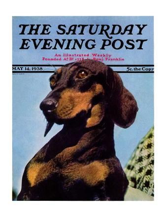 """""""Dachshund,"""" Saturday Evening Post Cover, May 14, 1938"""