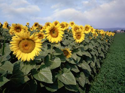 Sunflowers Sentinels, Rome, Italy 87
