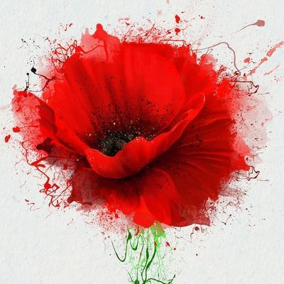 Beautiful Red Poppy, Closeup on a White Background, with Elements of the Sketch and Spray Paint, As