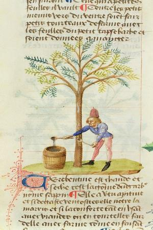 Ms Est 28 M.5.9 Fol.165R Collecting Turpentine, from 'Grand Herbier' by Pedanius Dioscorides