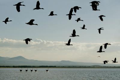 Geese Fly Over Ostriches On Amboseli Lake