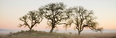 Oak Tree #30