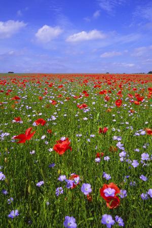 Poppy Field Uk