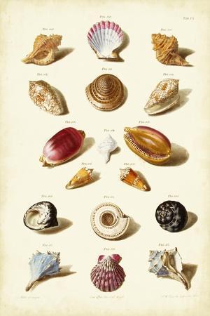 Muller Shells, Tab. VI