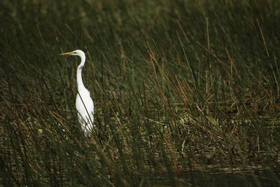 A Great Egret Hunting in a Reed Bed Is Stark Against the Green