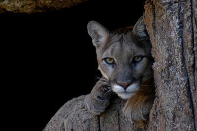 A Puma in Saguaro National Park