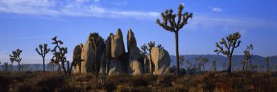 Joshua Trees Grow Among Rock Formations