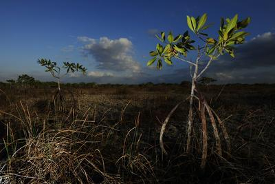 Mangroves in the Everglades