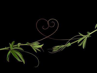 Passionvine Heart