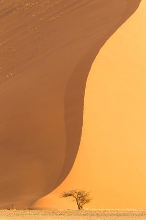 Namibia, Namib-Naukluft National Park, Sossusvlei. A dead camel thorn tree.