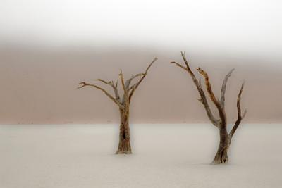 Namibia, Namib-Naukluft National Park, Sossusvlei, Dead Vlei. Ancient camel thorn trees in the fog.