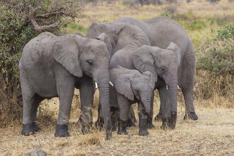 africa tanzania african elephants at serengeti national parkafrica tanzania african elephants at serengeti national park photographic print by ralph h bendjebar at allposters com