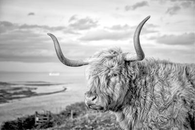 Highland Cows IV