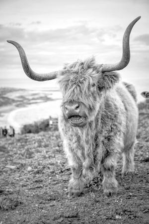Highland Cows VI