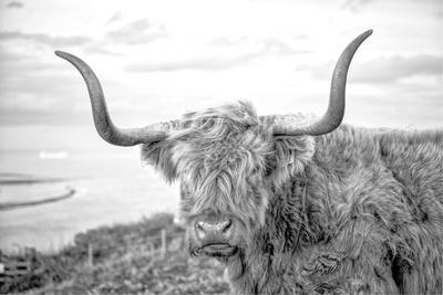 Highland Cows II