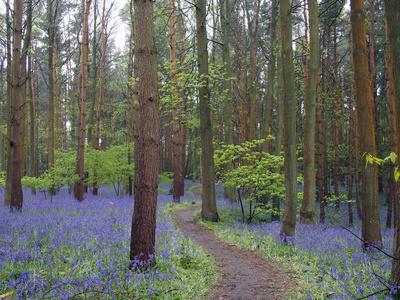 Bluebell woods near Wootton Wawen, Warwickshire, England, United Kingdom, Europe