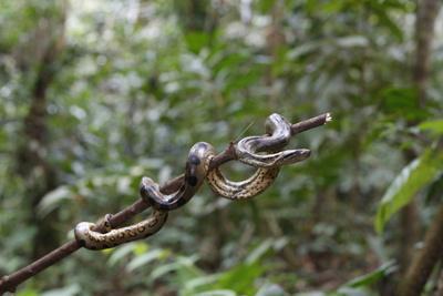 A wild green anaconda (Eunectes murinus), Amazon National Park, Loreto, Peru, South America