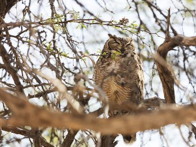 Spotted eagle owl , Kgalagadi Transfrontier Park, Kalahari, Northern Cape, South Africa, Africa