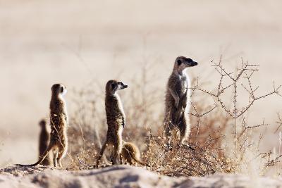 Meerkat , Kgalagadi Transfrontier Park, Kalahari, Northern Cape, South Africa, Africa