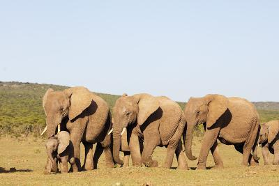 African elephant herd , Addo Elephant Nat'l Park, Eastern Cape, South Africa, Africa