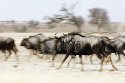 Blue wildebeest , Kgalagadi Transfrontier Park, Kalahari, Northern Cape, South Africa, Africa
