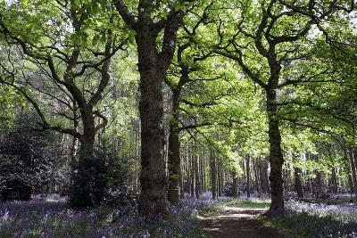 Bluebell wood near Wootton Wawen, Warwickshire, England, United Kingdom, Europe