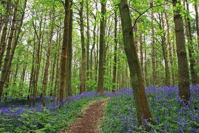 Bluebell woods near Henley in Arden, Warwickshire, England, United Kingdom, Europe