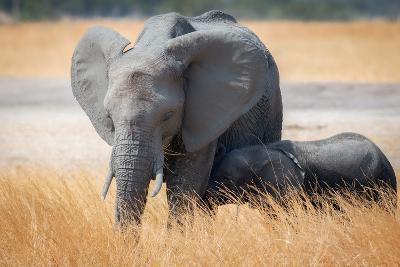 Young elephant calf and its mother in Hwange National Park, Zimbabwe, Africa
