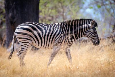 Zebra, Chobe National Park, Botswana, Africa