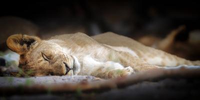 Sleeping lion cub, Chobe National Park, Botswana, Africa