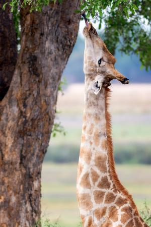 Giraffe, Chobe National Park, Botswana, Africa