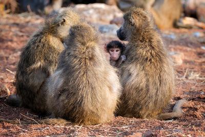 Baboon family, Botswana, Africa