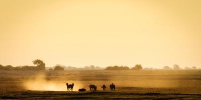 Dazzle of zebras, Chobe National Park, Botswana, Africa