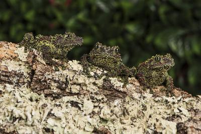 Vietnamese Mossy Frog (Theloderma Corticale), captive, Vietnam, Indochina, Southeast Asia, Asia