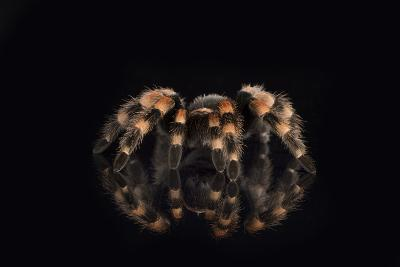 Mexican Red Knee Tarantula (Brachypelma Smithi), captive, Mexico, North America