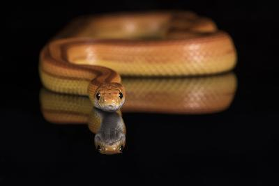 Corn Snake (Pantherophis Guttatus), captive, United States of America, North America