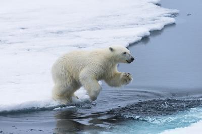 Polar bear cub (Ursus maritimus) jumping over the water, Spitsbergen Island, Svalbard archipelago,