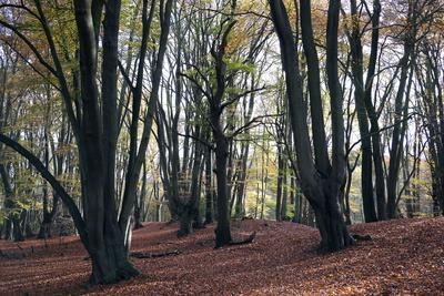 Loughton Camp, an Iron Age Hill fort dating from around 500BC in Epping Forest, Essex, England, Uni