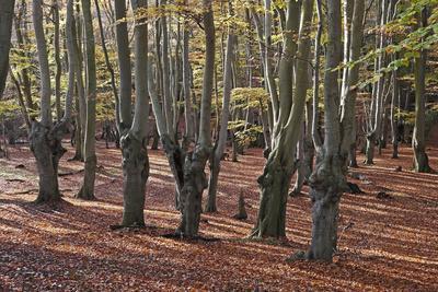Pollarded beech tress, Epping Forest, Essex, England, United Kingdom, Europe