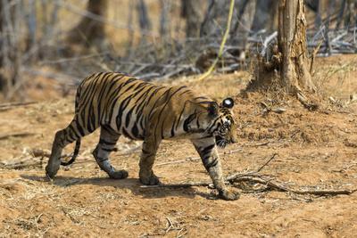 A Bengal tiger (Panthera tigris tigris) walking, Bandhavgarh National Park, Madhya Pradesh, India,